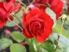 Eine andere Rose